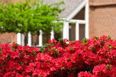 Red Blooming Azaleas