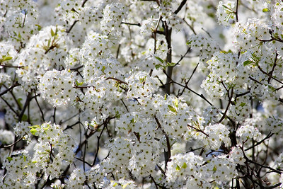 Bradford Pear Tree Bloom