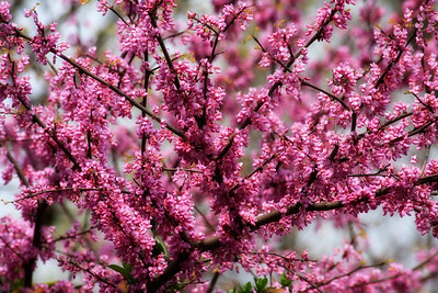 Red Bud Tree Blooms