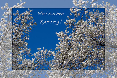 Welcome Spring!  Bradford Pear Trees in Bloom