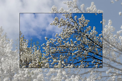 Bradford Pear Trees in Bloom - Photo in Photo