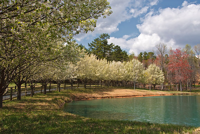 Bradford Pear Trees in Bloom by a Lake