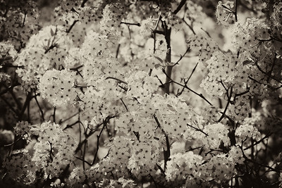 Bradford Pear Tree Bloom in Sepia with Vignette