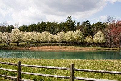 Bradford Pear Trees in Bloom by a Lake - Fence in the Foreground