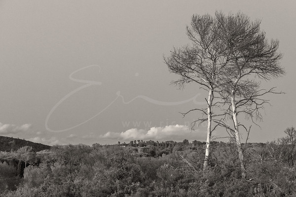 deux arbres en Provence | two trees in the south of France