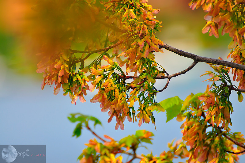 I am always fascinated with the fall colors and have shot many different leaves so far but this tree I found in Poconos PA, which really gave me something different I never expected of. And blue background added a lot of strength to the composition