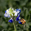 Caught in action - pollinating a Bluebonnet