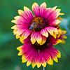 Pollinating an Indian Blanket aka Firewheel