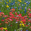 Indian Paintbrush sharing space with the Bluebonnets, Daisies and others