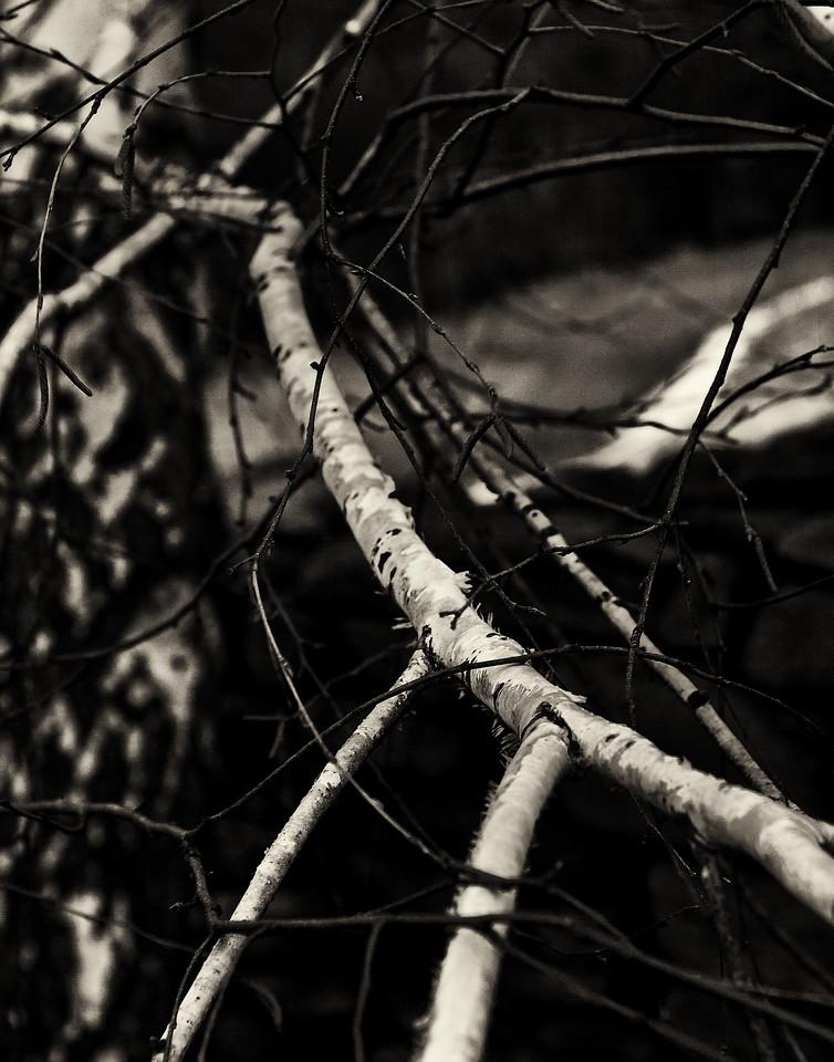 White birch in dusk.