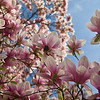 "Magnolias at the NY Botanical Gardens<br /> <br /> Photographing New York City. <a href=""http://amzn.to/dfgnyc"">http://amzn.to/dfgnyc</a>"