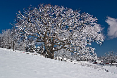 A massive tree covered in snow after a storm.