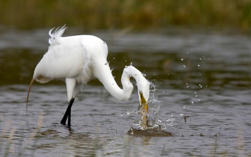 Great Egret - missed strike