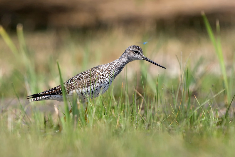 Greater Yellowlegs foraging for food