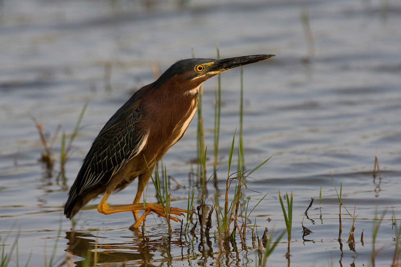 Green Heron hunting at sunset