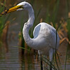 Gotcha! Great Egret