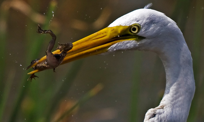 Closeup of Great Egret and frog