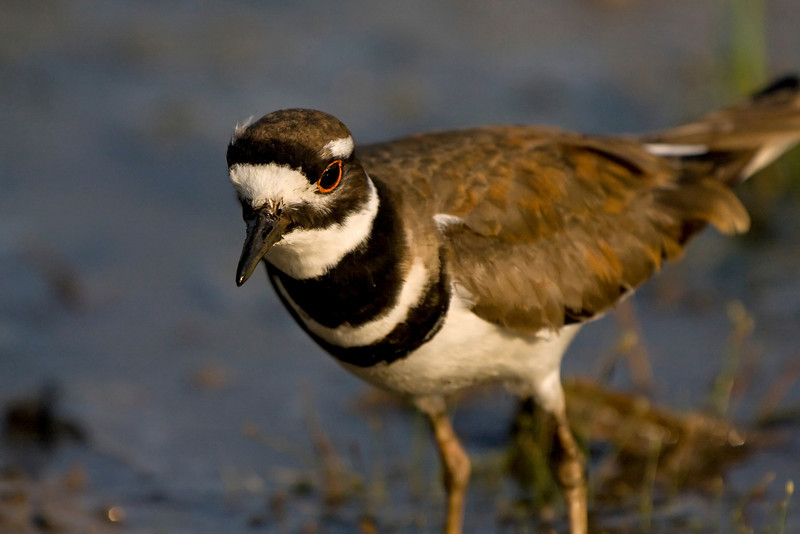 Killdeer - foraging for food