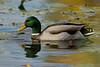 Drake Mallard Duck