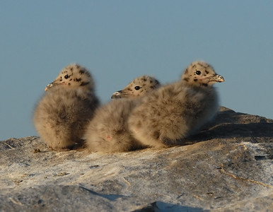 Seagull Chicks