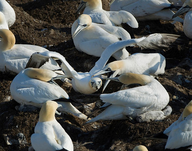 The Gannets seem to get along fairly well. However there is hell to pay if one lands in the wrong place