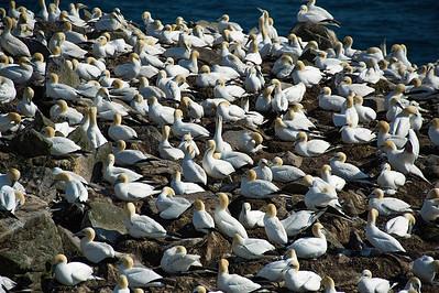 Northern Gannet Colony on bird rock