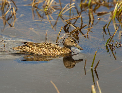 female Cinnamon Teal