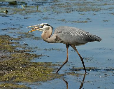 Heron catching fish at Magee Marsh (5 of 6)