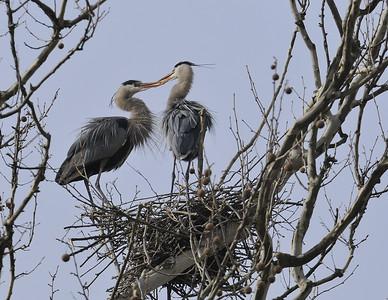 Cuyahoga Valley National Park Heron Rookery