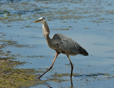 Heron catching fish at Magee Marsh (6 of 6)