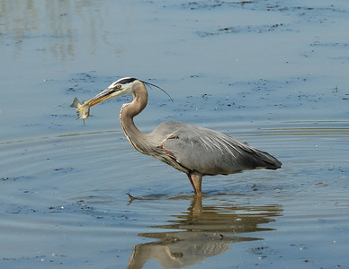 Heron catching fish at Magee Marsh (2 of 6)