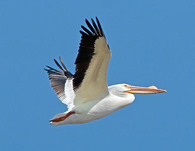 American White Pelican at Pickeral Creek Wildlife Area Vickery,Ohio