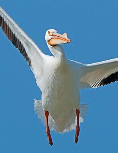 American White Pelican at Pickeral Creek Wildlife Area Vickery,Ohio