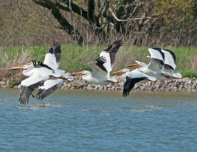 American White Pelicans at Pickeral Creek Wildlife Area Vickery,Ohio