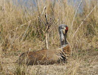 Sandhill Crane at Sandy Ridge Reservation, Ohio