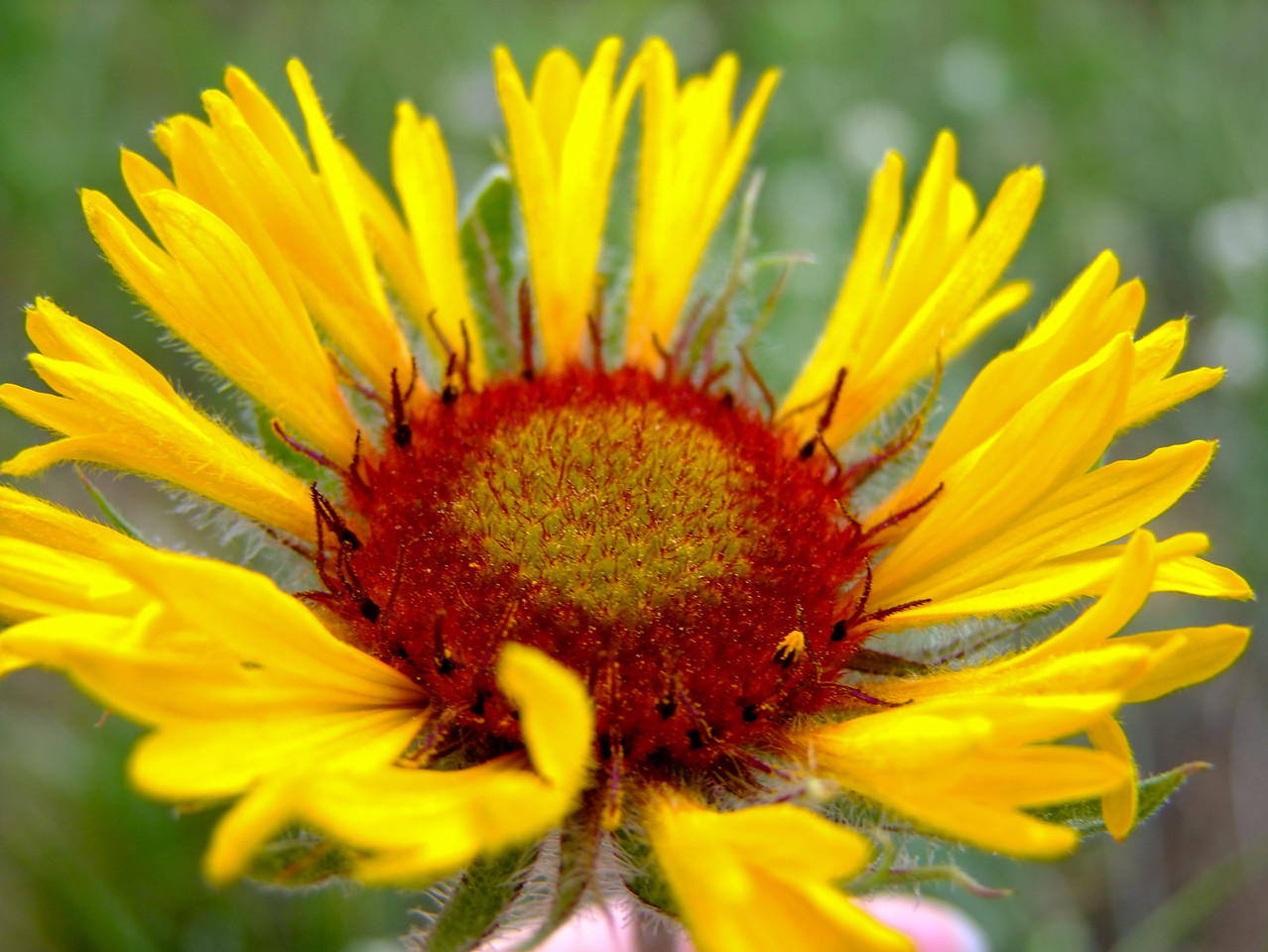 Wyoming Wildflower<br /> Summer 2010