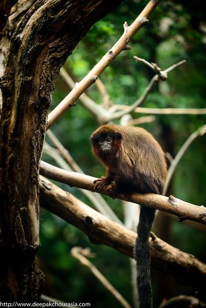 Goeldi's Marmoset Monkey