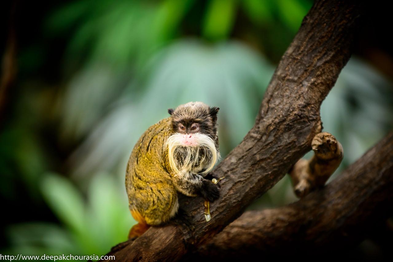 Brockway monkey aka emperor tamarin