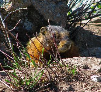 Marmot at Yellowstone National Park
