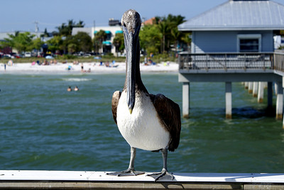 Brown Pelican | Fort Myers, Florida | US - 0009
