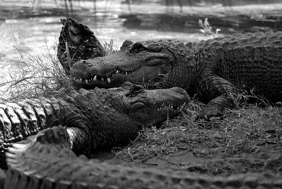 Alligators | Brevard Zoo | Melbourne, Florida - 0025