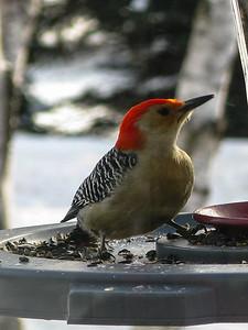 Birds feeding in the winter - Red Bellied Woodpecker