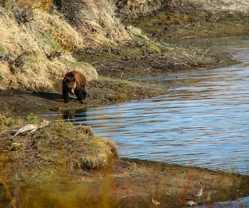 Brown bear at Grand Teton National Park