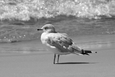 Seagull | Ludington State Park | Ludington, Michigan | US - 0010