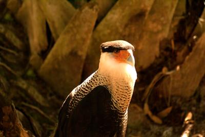 Crested Caracara | Brevard Zoo | Melbourne, Florida - 0028
