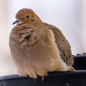 Birds feeding in the winter - Morning Dove