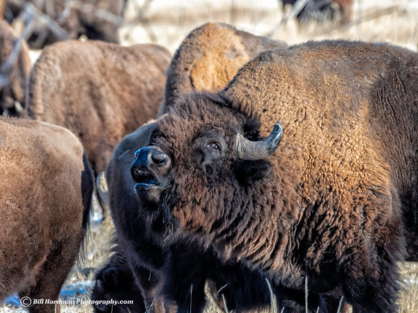 Bison call
