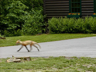Wily fox trotting by the golf course