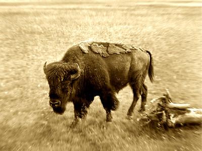 Buffalo | Yellowstone National Park, Wyoming | Montana, US - 0011
