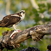 Osprey Feeding